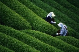 A tea garden of Assam