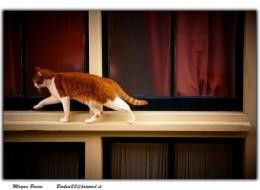 An Orange and White Cat Walking