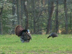 A male turkey strutting his stuff for the ladies