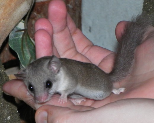 Adult African Pygmy Dormouse