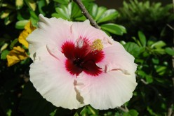 The Compleat Gardener: Fundamentals of Growing Hibiscus