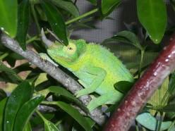 Jackson's Chameleon Care