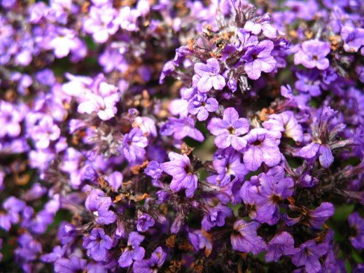 The scent of a Heliotrope is classified as Sweet.