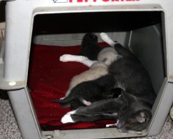 SMOKY MAMA & HER KITTENS III