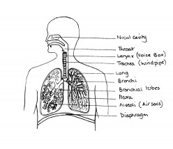 Asthma & its symptoms: including a plan diagram of a bronchiole.