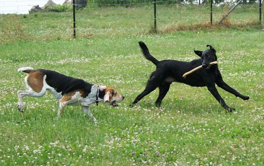 An American Foxhound and a black Labrador Retriever playing with a stick.