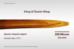 Here is a photo of a Queen Wasp's Stinger.