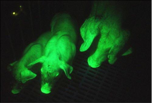Glow in the dark pigs