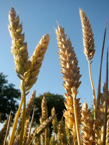 Gluten proteins are found in all varieties of wheat.