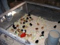 Keeping chicks in a smaller pen prevents them from straying too far from each other and keeps them close to heat lamp.  It is essential chicks be kept very warm for first couple of weeks.