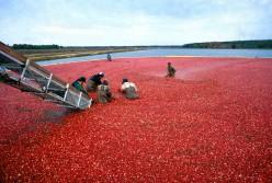 Harvesting Cranberries in NJ.