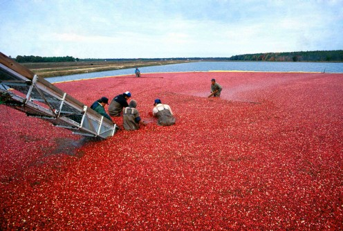 Harvesting Cranberries in NJ.