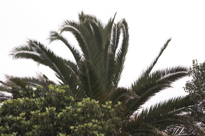 High winds on Friday, wipping the Palm fronds to and fro. precurser to the next two days storms.