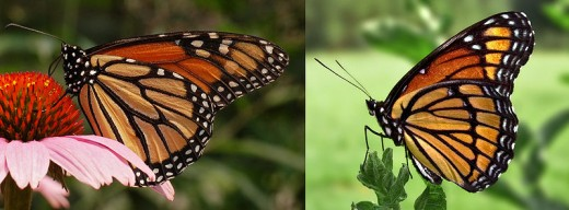 Monarch butterfly and Viceroy monarch butterfly.