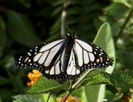 The white morph butterfly also known as the albino Monarch butterfly, native to Oahu, Hawaii.
