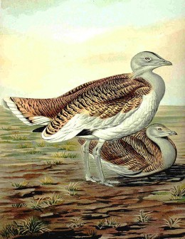 A Great Bustard in a German drawing from 1905. Males weight up to 35 pounds +/-.