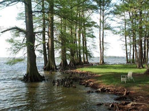 Cypress Trees and Cypress knees