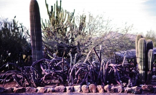 Desert Botanical Garden