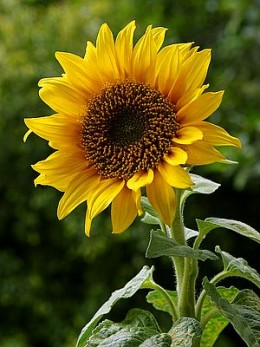 Sunflowers are ideal for children to grow.
