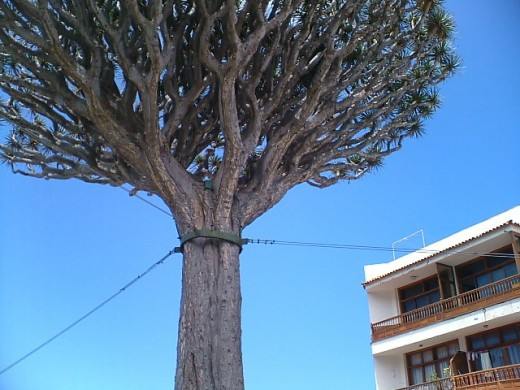 Another large Dragon Tree in Icod