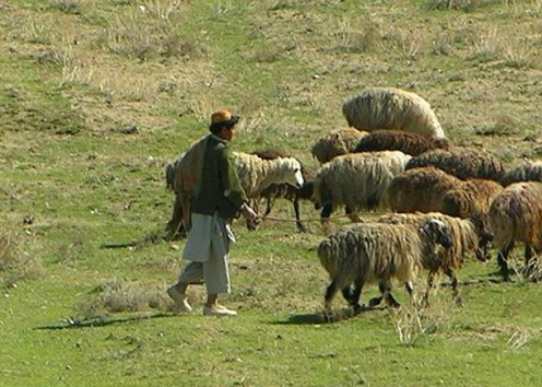 Life in Afghanistan. A shepard with his herd