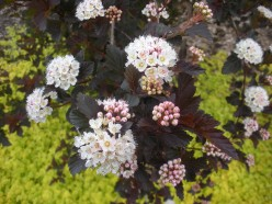 Photo 6 - These have a touch of pink, especially in the bud stage.  They are more white than pink in bloom, however.
