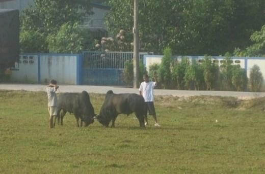 Two fighting bulls