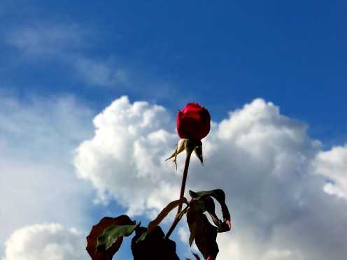 "- ""A red rose & soft heart shaped cloud for you if I could"" - Photos that appear on this page were gently processed using a quality grade online photo editor - Enhancements include slight adjustments to Color Levels, Saturation, Contrast, & Curves -"