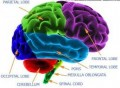 Anatomy of the Brain: Four Brains of Man
