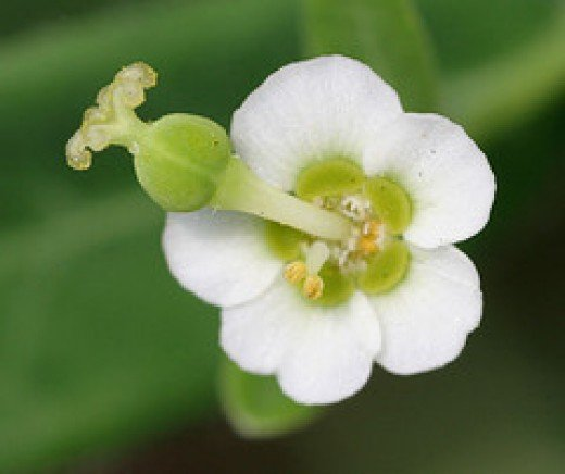 Flowering Spurge from cotinis Source: flickr.com