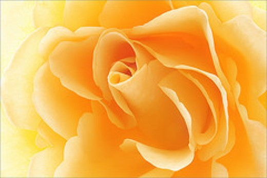 Yellow Rose from Bahman Farzad Source: flickr.com