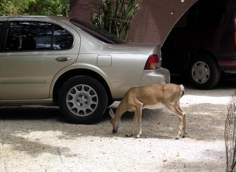 Here is a photo of a doe Key Deer. Notice how very small she is.