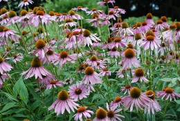 Purple Coneflower, by Barefoot Gardener