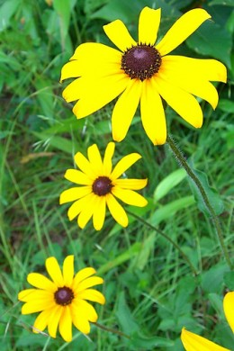 Black-Eyed Susan, by pellaea
