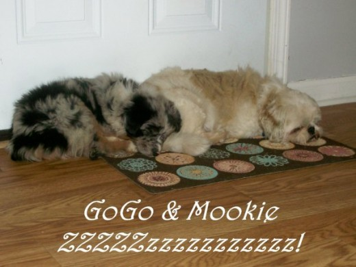 GoGo and Mookie. Mookie is a 16lb Lhasa Apso to give you an idea of her size at this time.