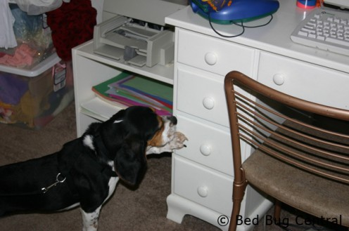 bedbugs hide everywhere
