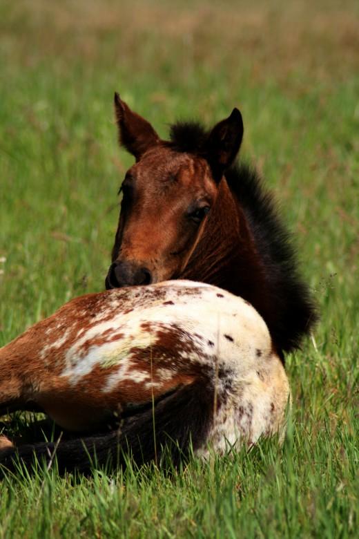 Nursing foals are often left to starve in horse slaughterhouses.