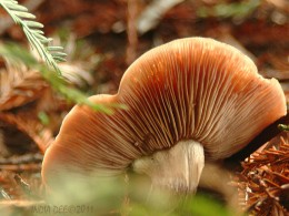Winged Fungus