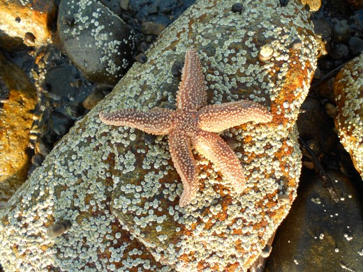 The starfish I found at Corporation Beach.