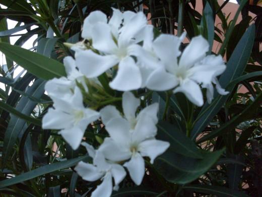 beautiful white oleander