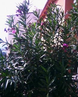 overgrown oleander hedge