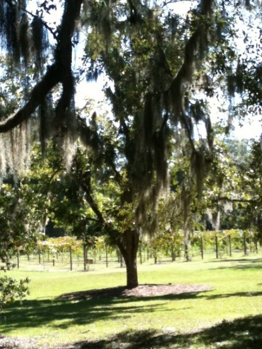 Southern Oaks and grapevines dominate the view at September Oaks Vineyards on wine tour and music