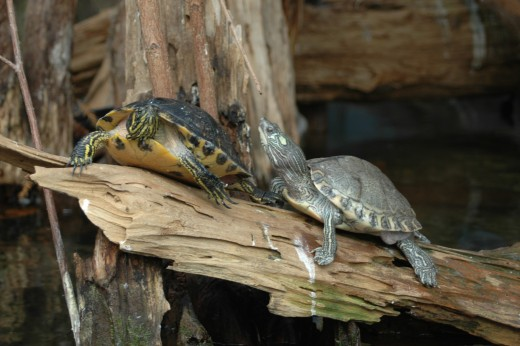Barbour's Map Turtles