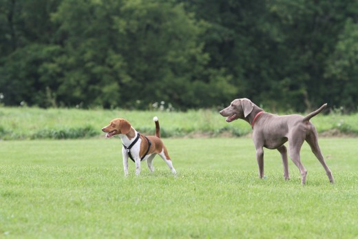 Ruby has never met this gray dog before. But they made great companions at the dog park