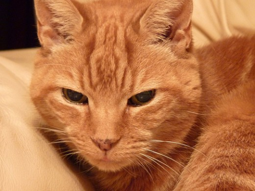 My pet cat Foxy.