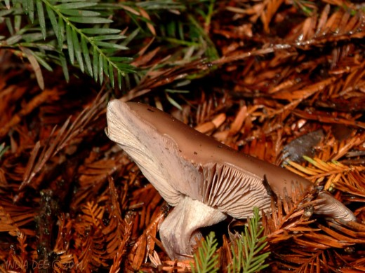 Bowing Mushroom