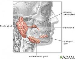 The Major Salivary Glands