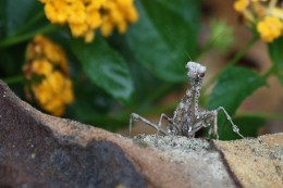 Praying Mantis in My Flower Bed