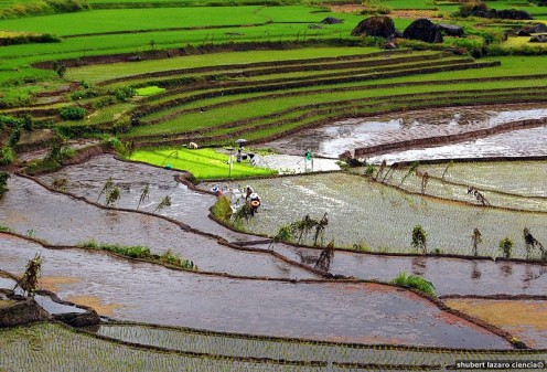 UNESCO WORLD HERITAGE SITE. farmers plant rice at the stonewalled Nagacadan Rice Terraces 20 minutes uphill in Bilong from the Kiangan town center.