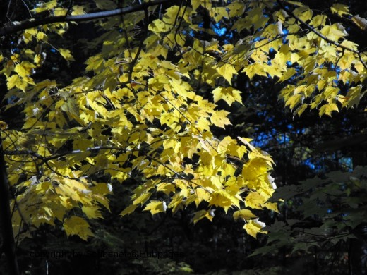 11.) Not all Maples turn red...this is one pale beauty!